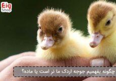 چگونه-بفهمیم-جوجه-اردک-ما-نر-است-یا-ماده؟