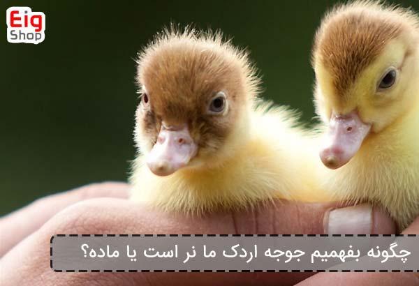 چگونه بفهمیم جوجه اردک ما نر است یا ماده؟ - فروشگاه اینترنتی eig shop